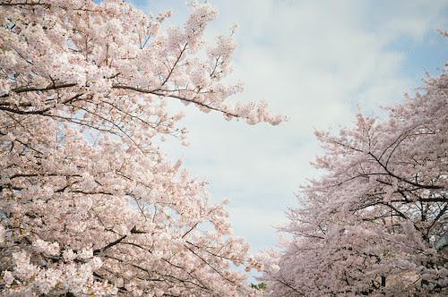 20110410-_DSC7550sakura
