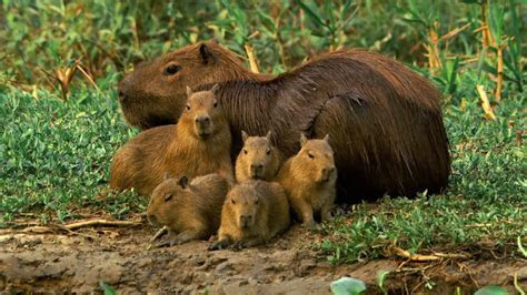 Florida Could Soon Have a Capybara Problem   Gazette Review