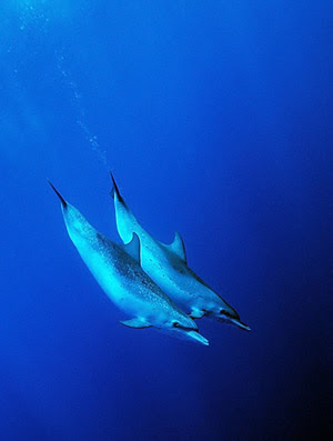 Dolphin Pair by Doug Richardson