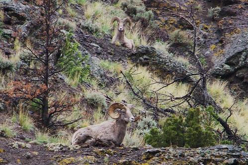 100_4209_Bighorn_Sheep