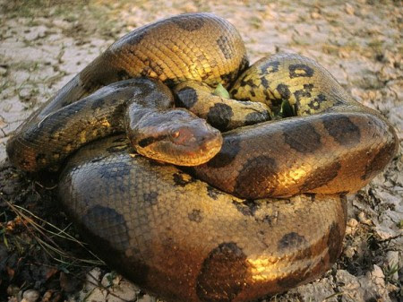 The green anaconda is native to South America but has started breeding in Florida.