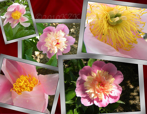 CollagePeonies2