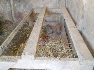 New Piglets 2012