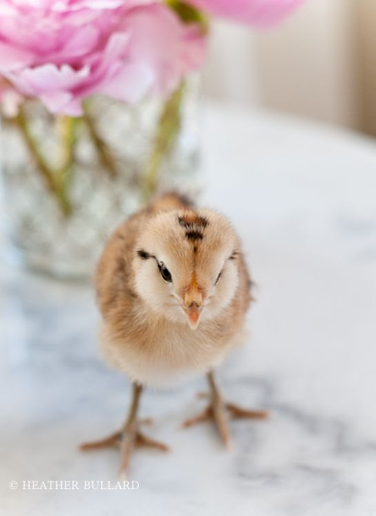Marb_cks-112 - oh so sweet fuzzy chick from Heather Bullard/Lifestyle