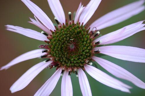 Echinacea pallida, Pale Coneflower