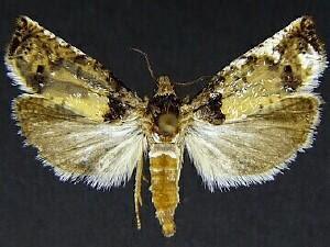 Resultado de imagen de epiblema scudderiana