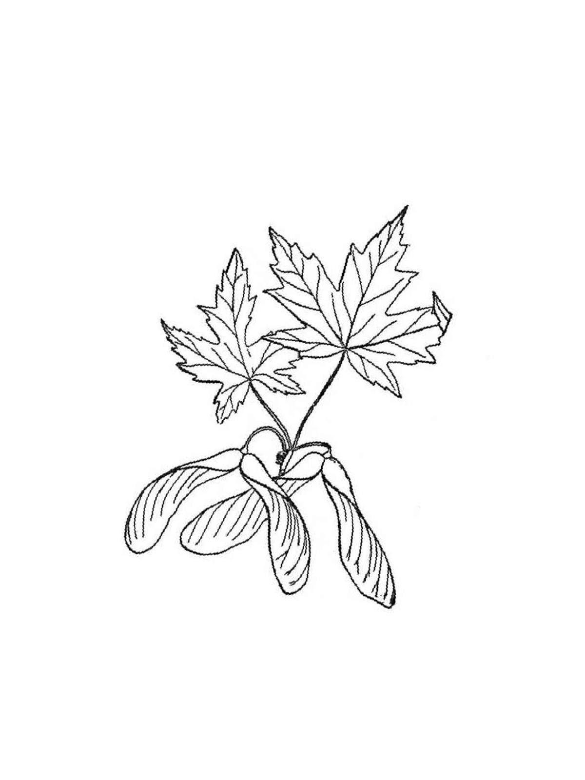 kostenlose malvorlage ahornblatt