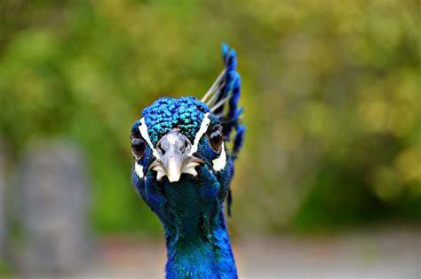 Free photo: Peacock, Head, Plume, Blue, Beak   Free Image on Pixabay   1247108