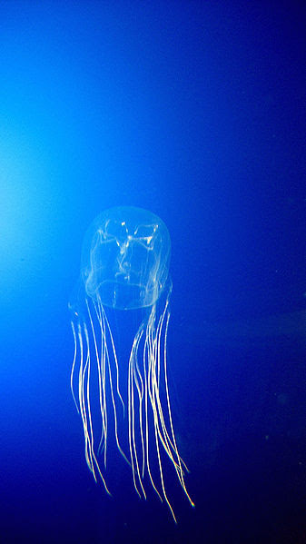 Australian Box Jellyfish 10 of the Most Beautiful Jellyfish in the  World