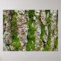Pine Tree Bark With Moss