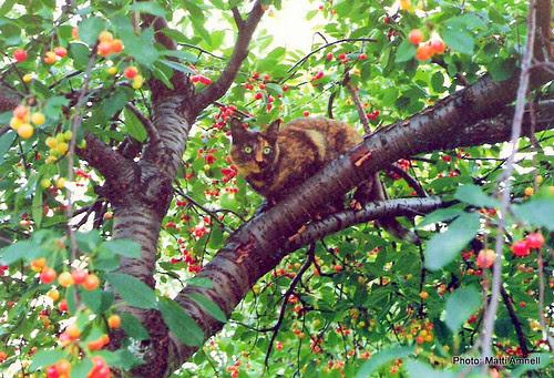 Tiinakirsikkapuussa1