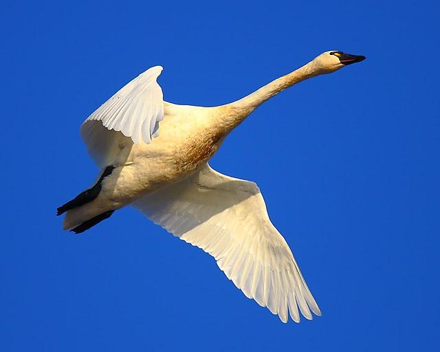 IMG_8591 Tundra Swan