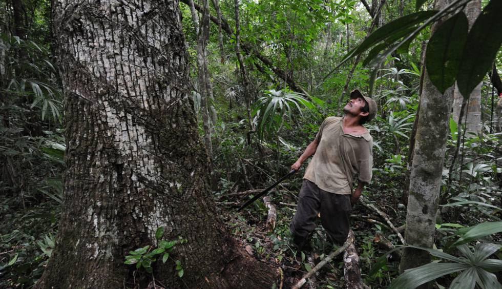 Un chiclero, en la selva maya, junto a un árbol de chicozapote.