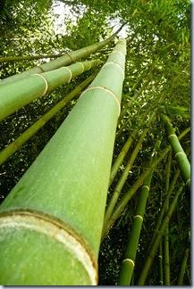 70 bambus