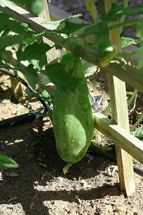 Cucumber0808web