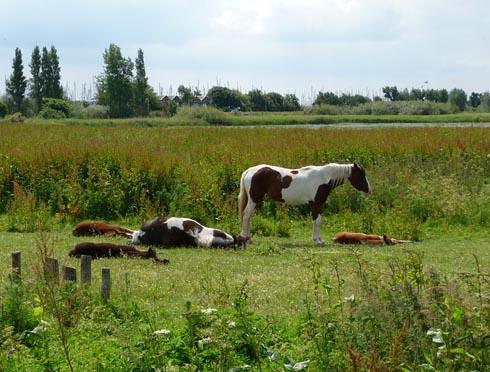 dutch livestock