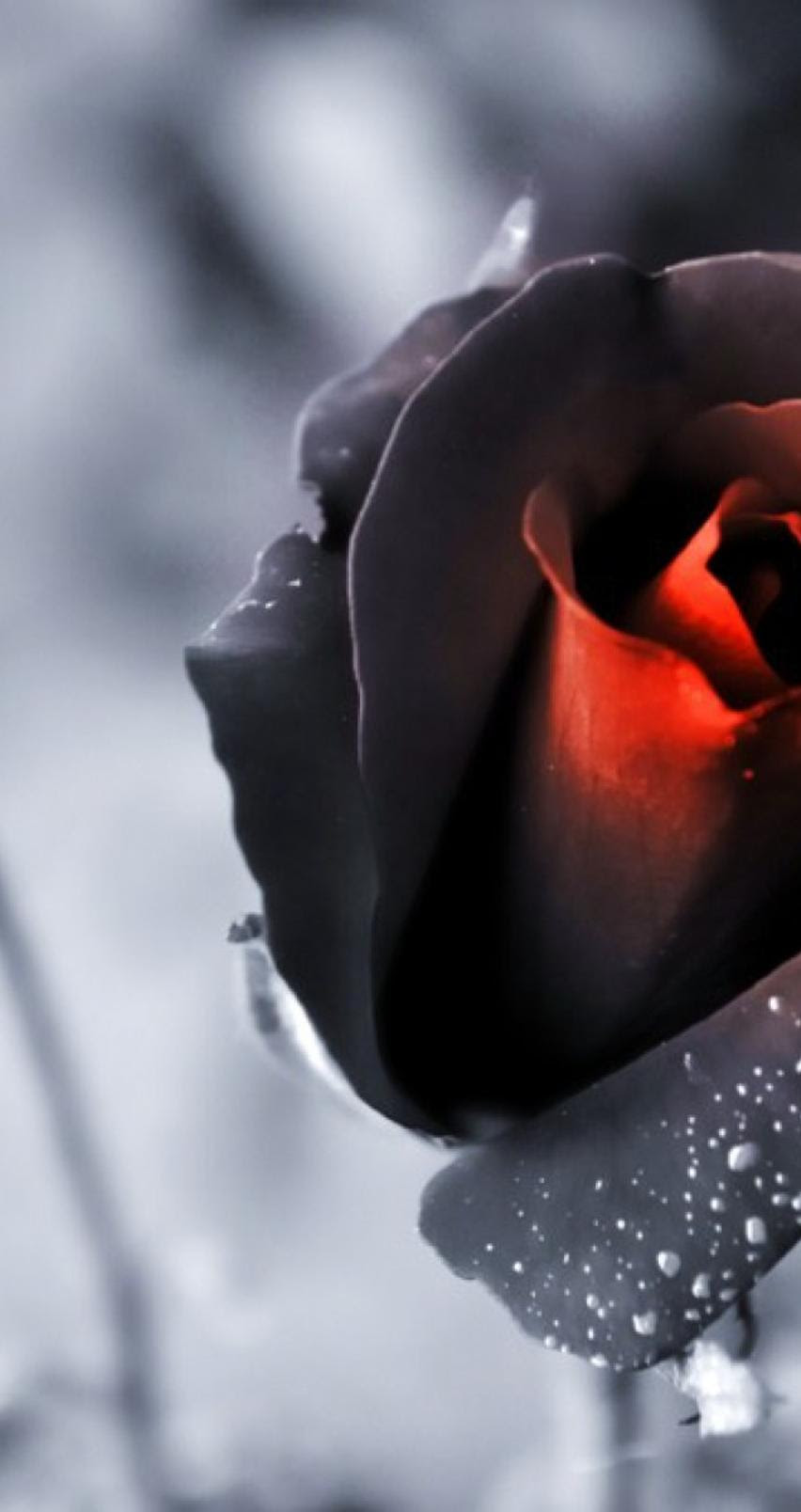 Black And Red Rose Wonderful Romantic Flower