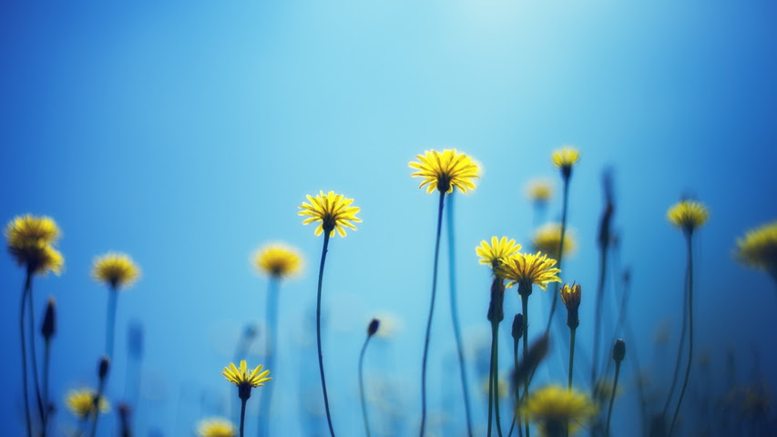 Download 930 Wallpaper Bunga Dandelion Hd Gratis