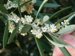 Imagini pentru floare maslin imagini