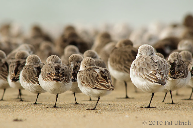 Resting peeps -- Pat Ulrich Wildlife and Nature Photography