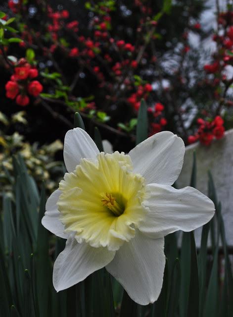 Narcissus (4)