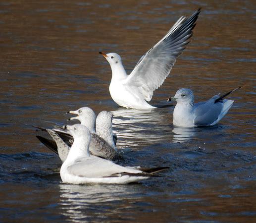 Ed Gaillard: birds &emdash; Black-Headed and Ring-Billed Gulls, Prospect Park