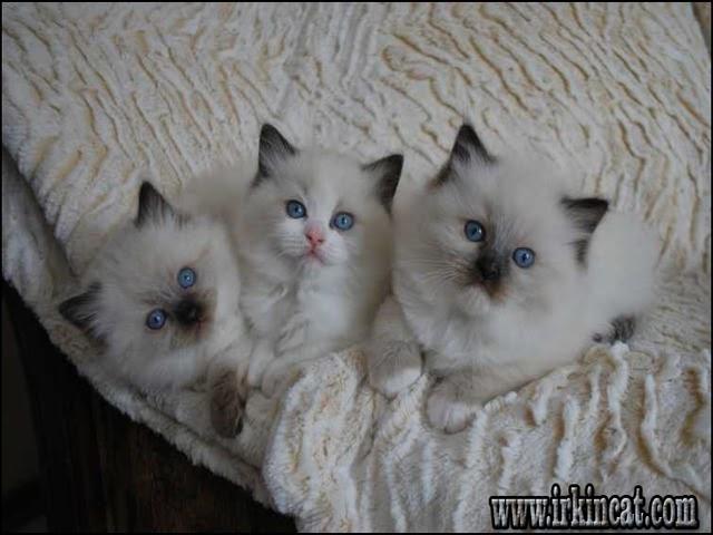 Kittens For Sale In Pa Craigslist - petfinder