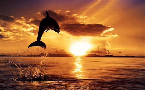 dolphin desktop wallpapers wallpaper cave