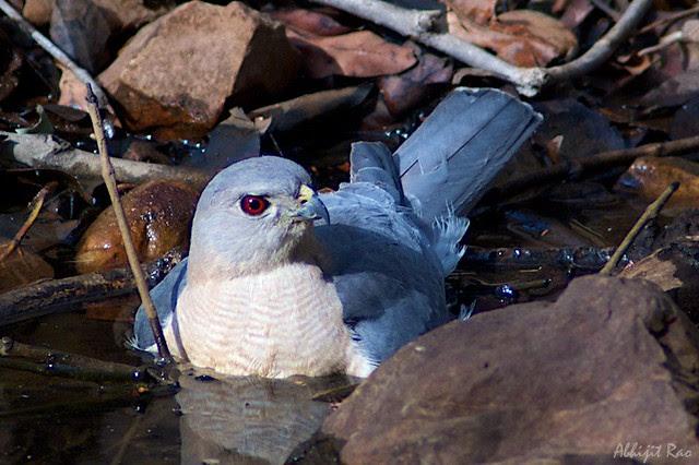Shikra bird of prey, Ranthambhore National Park