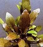 Cryptocoryne, Wendtii, Χάλκινο (Cryptocoryne wendtii κατά Tropica)