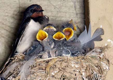 nido di rondine