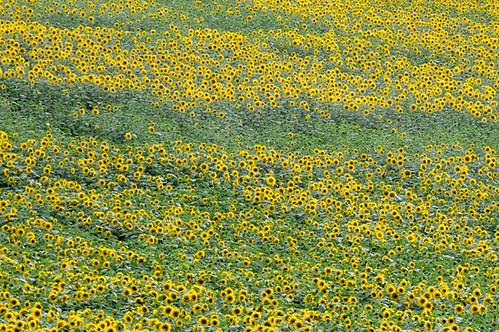 sunflowers_0385 web