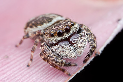 Jumping spider Rhene sp.? IMG_3817 copy