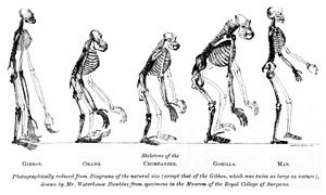 Illustration comparing the skeletons of variou...