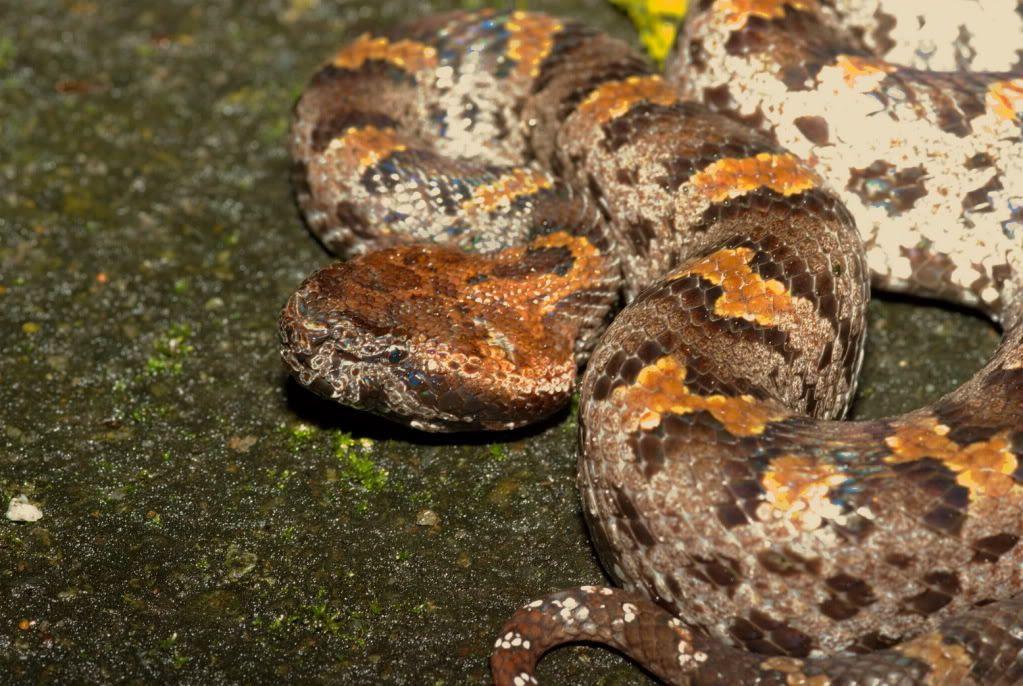 Resultado de imagem para Ovophis monticola