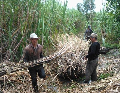 Nông dân xã Tân Phước Hưng, huyện Phụng Hiệp, tỉnh Hậu Giang thu hoạch mía bán cho thương lái