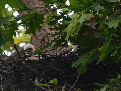 Highbridge Hawk Nest