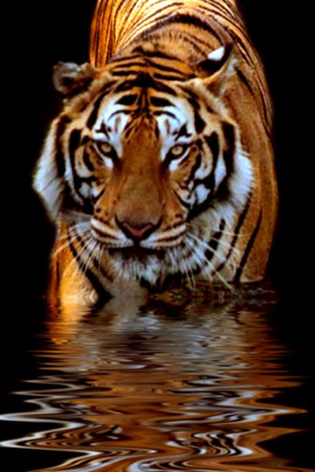 Tiger iPhone Wallpaper HD