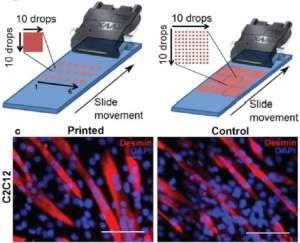 Biotinta com células imprime tecidos vivos