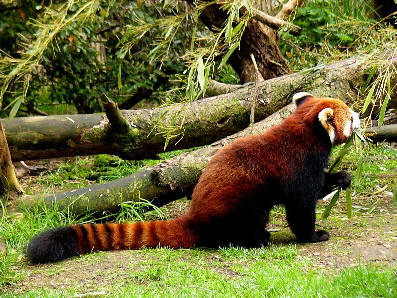 File:Red panda eating bamboo.jpg