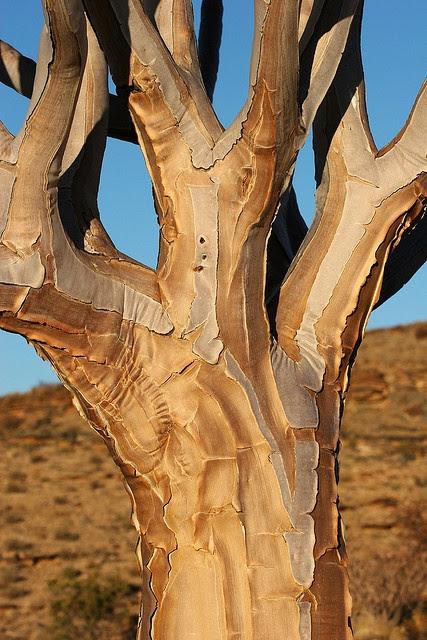 Quiver tree by Jason Webber on flickr