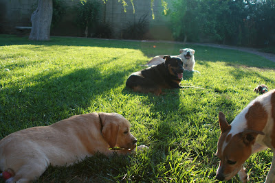 Cooper and his gal-pals relax - Ginger, Loki & Dot