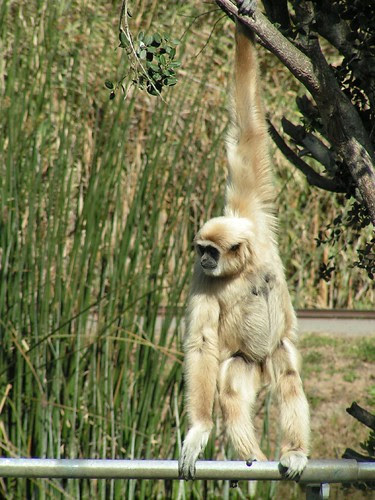 gibbon 6
