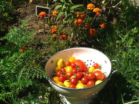 Le_p_tit_jardin___r_colte_de_tomates