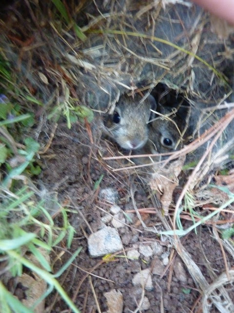 Baby Bunny Nest In Backyard
