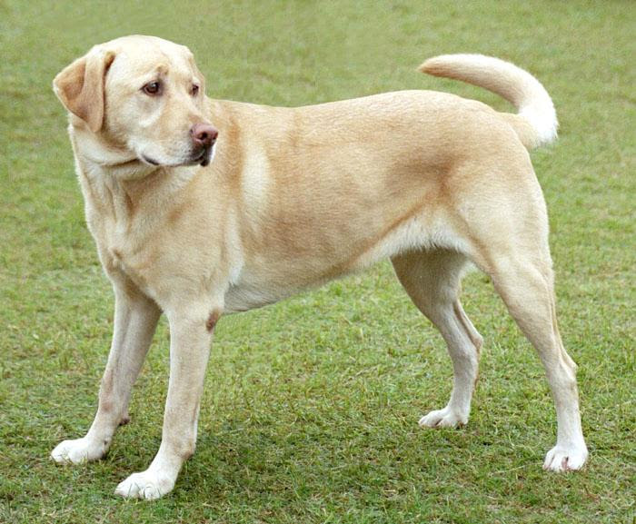 File:YellowLabradorLooking new.jpg