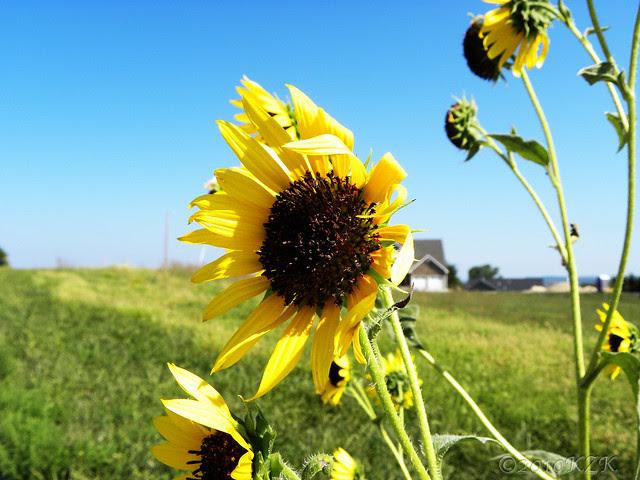 DSCN6700_2 KS sunflowers