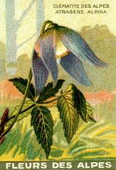 fleurs alpes 2