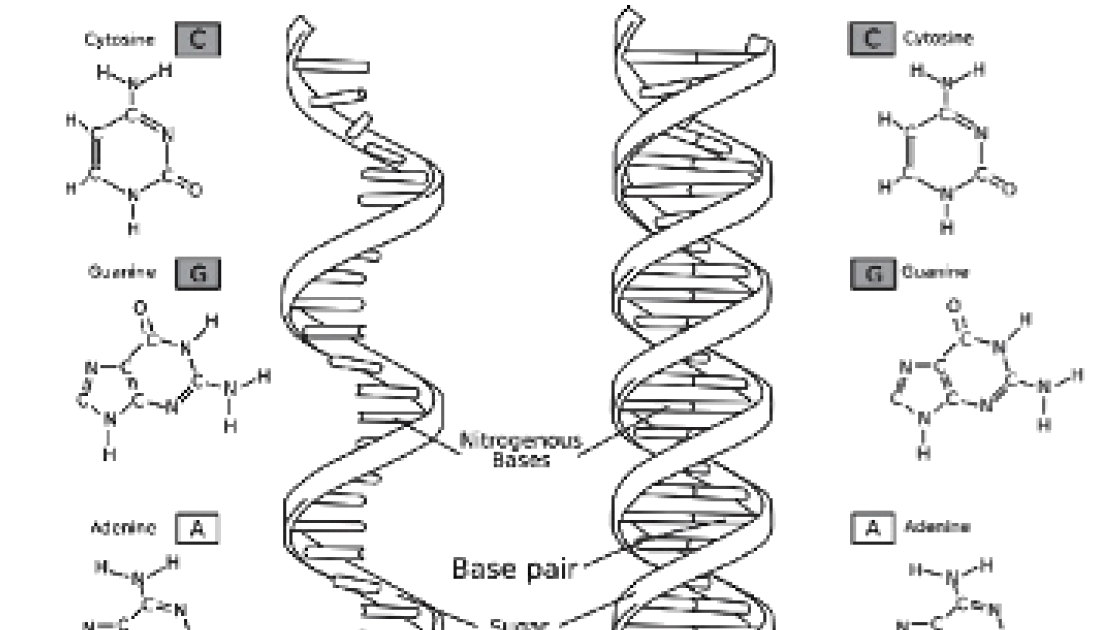 Nucleic Acids Dna Double Helix Worksheet Answers - Nidecmege