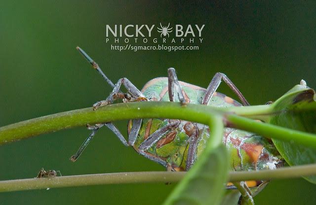 Stink Bug? (Pentatomidae) - DSC_8307